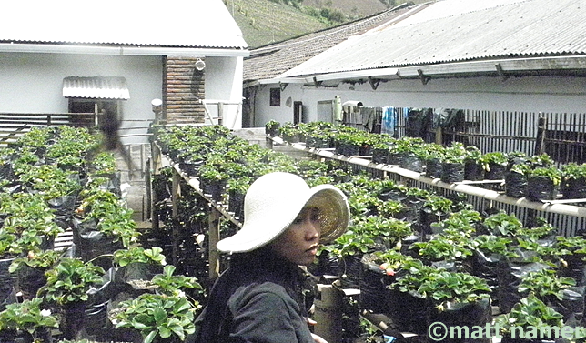Hana tends the organic strawberry garden at Pak Tasrip Homestay.